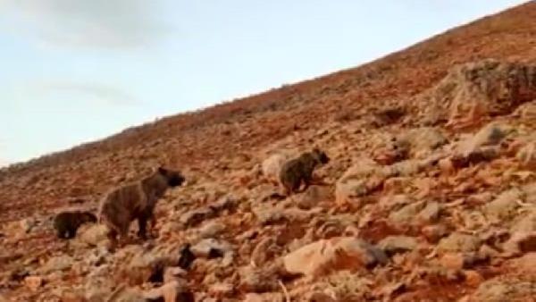 Anne ve yavru ayılar koyunlara saldırdı, çoban o anları cep telefonu ile kaydetti