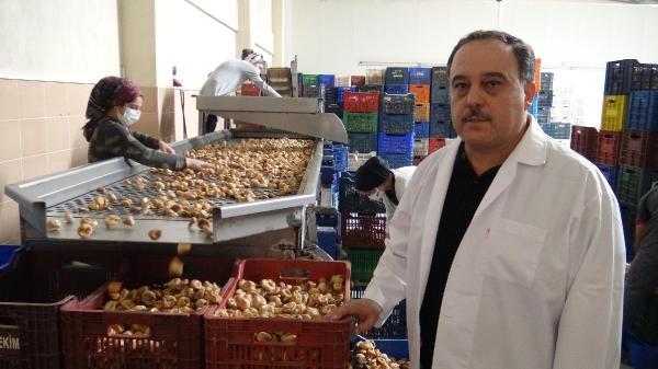 Aydın'da kuraklık kuru inciri de vurdu, kilo fiyatı 100 liraya çıktı