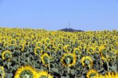 Yüzde 40 yağ oranlı ayçiçeğinin tonuna 5 bin 100 TL avans ödemesi