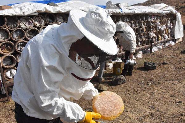 Bitlis'te hasadına başlanan karakovan balından 2 bin ton verim bekleniyor